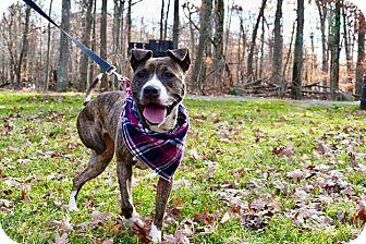 Terrier (Unknown Type, Medium)/Rhodesian Ridgeback Mix Dog for adoption in Bridgewater, New Jersey - ALEXIS