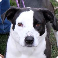 Adopt A Pet :: Pepper - Ann Arbor, MI