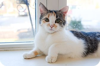 Calico Cat for adoption in Peace Dale, Rhode Island - Daisy