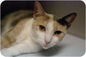 Domestic Shorthair Kitten for adoption in New York, New York - Sparky