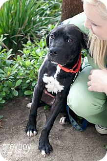Labrador Retriever Mix Puppy for adoption in Mission Viejo, California - Bradley