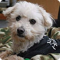 Adopt A Pet :: HARLEY - Mission Viejo, CA
