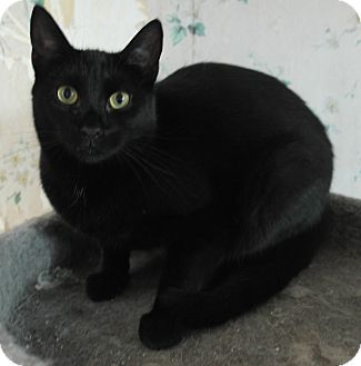 Domestic Shorthair Cat for adoption in Monroe, Connecticut - Spanky