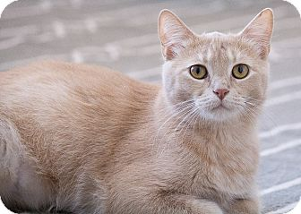 Domestic Shorthair Cat for adoption in Chicago, Illinois - Sven
