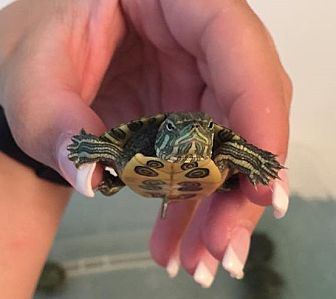 Turtle - Water for adoption in Baltimore, Maryland - Baby Slider