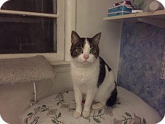 Domestic Shorthair Cat for adoption in Waldorf, Maryland - Karlton