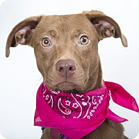Adopt A Pet :: COCO--A Second Chances Dog! - Nashville, TN