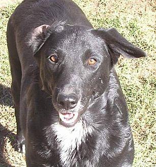 Labrador Retriever/Border Collie Mix Dog for adoption in Cross Roads, Texas - Ebony