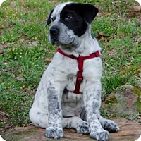 Adopt A Pet :: Roxie - Lebanon, CT