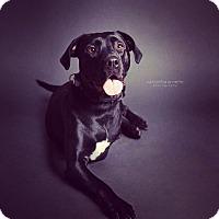 Adopt A Pet :: Bonez - bridgeport, CT