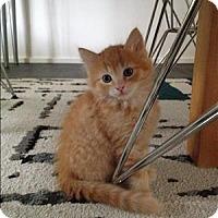 Adopt A Pet :: Crystal Gale K2 Aka Pnut Butter - Sherwood, OR