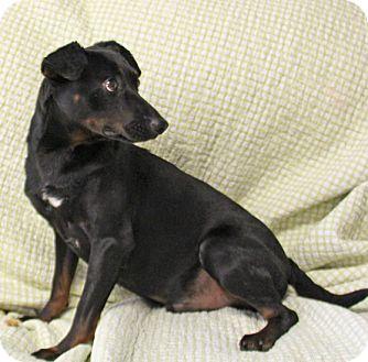 Miniature Pinscher/Dachshund Mix Dog for adoption in Savannah, Tennessee - Razzle