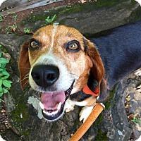Adopt A Pet :: Peanut (RBF) - Washington, DC