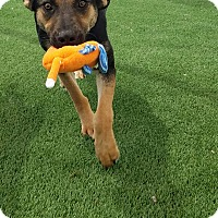 Adopt A Pet :: Elkie - Dallas, TX