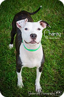Pit Bull Terrier Mix Dog for adoption in Newport, Kentucky - Charity