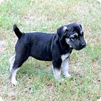 Adopt A Pet :: PUPPY SOLOMON - Salem, NH