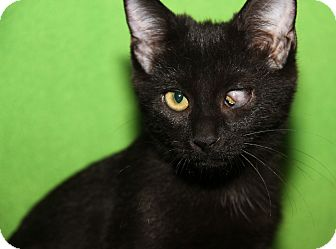 Domestic Shorthair Cat for adoption in Marietta, Ohio - Tara (Sookie's Kitten)