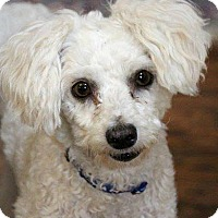 Adopt A Pet :: Bentley-ADOPTION PENDING - Boulder, CO