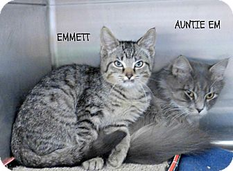 Domestic Shorthair Kitten for adoption in Spring Brook, New York - Emmett