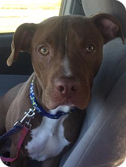 Pit Bull Terrier/American Pit Bull Terrier Mix Dog for adoption in Christiana, Tennessee - Paxton
