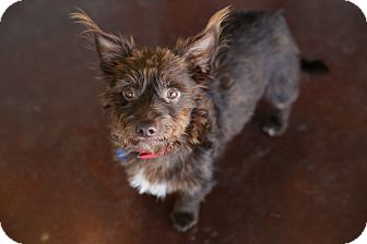 Terrier (Unknown Type, Small) Mix Dog for adoption in San Antonio, Texas - Barney