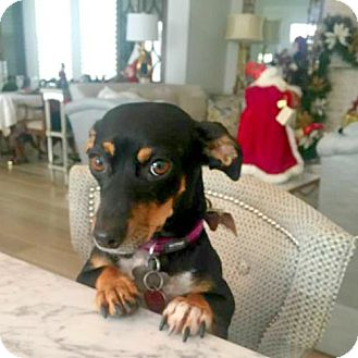 Dachshund Dog for adoption in Houston, Texas - Rachel Brooks
