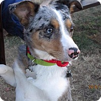 Australian Shepherd/Poodle (Standard) Mix Dog for adoption in Freeport, New York - Ghost