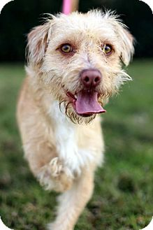 Norfolk Terrier/Border Terrier Mix Dog for adoption in San Diego, California - Crosby