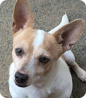 Jack Russell Terrier/Chihuahua Mix Dog for adoption in Wakefield, Rhode Island - Max *LOCAL*