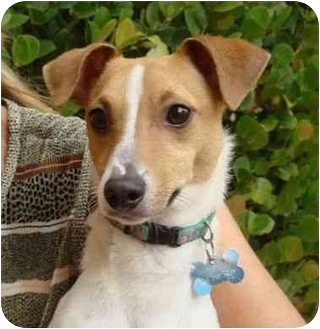 greyhound terrier mix willy adopted puppy coral springs fl jack russell 2587