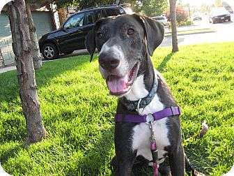 Great Dane/Labrador Retriever Mix Dog for adoption in Broomfield, Colorado - Gus