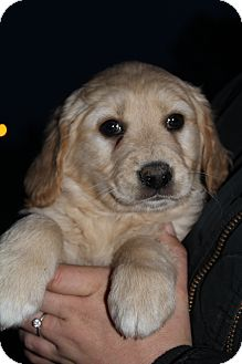 Golden Retriever Mix Puppy for adoption in Wytheville, Virginia - Trace Adkins