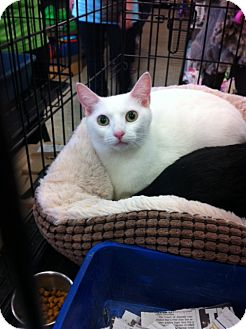 Domestic Shorthair Cat for adoption in Island Park, New York - Opal
