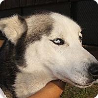 Adopt A Pet :: Malaki - Gilbert, AZ