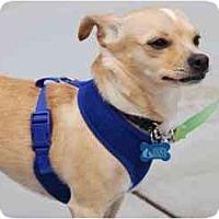 Adopt A Pet :: Clarabelle - San Francisco, CA