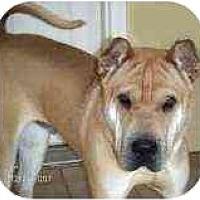 Adopt A Pet :: Beckham - Bethesda, MD