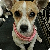 Adopt A Pet :: Shakira - Scottsdale, AZ