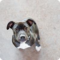 Adopt A Pet :: Butch - Des Peres, MO