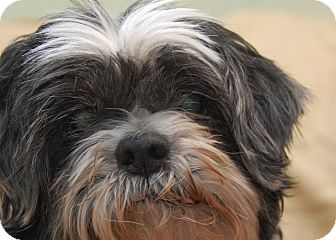 shih tzu rescue nyc new york ny shih tzu meet sammy a dog for adoption 3800