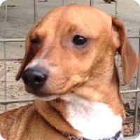 Adopt A Pet :: Brooklynne Babysbreath - Houston, TX