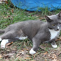 Adopt A Pet :: Grey - Morriston, FL
