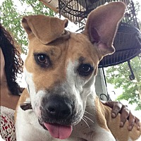 American Staffordshire Terrier Mix Dog for adoption in Orlando, Florida - Lulu