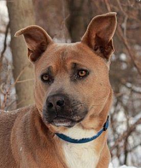 Jindo/Pit Bull Terrier Mix Dog for adoption in Port Washington, New York - Husky