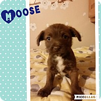 Adopt A Pet :: Moose - Brea, CA