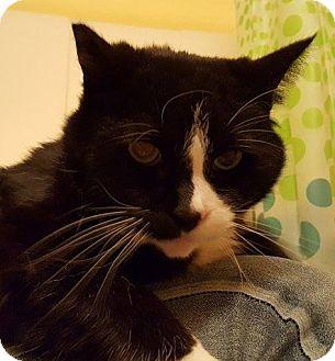 Domestic Shorthair Cat for adoption in Portland, Oregon - Cinder
