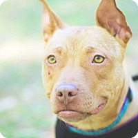 Pit Bull Terrier Mix Dog for adoption in Durham, North Carolina - Marigold