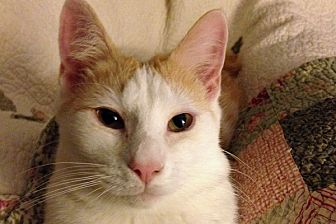 Domestic Shorthair Cat for adoption in Durham, North Carolina - Tygarian