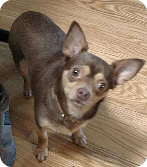 Chihuahua Dog for adoption in Mooresville, North Carolina - Cocoa Puff
