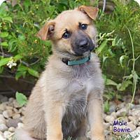 Adopt A Pet :: Bowie von Rosie - Thousand Oaks, CA