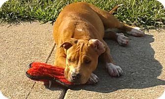 Labrador Retriever/Pit Bull Terrier Mix Dog for adoption in San Antonio, Texas - Ellie
